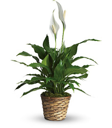 Simply Elegant Spathiphyllum - Small from Arjuna Florist in Brockport, NY