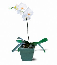 Phalaenopsis Orchid Plant from Arjuna Florist in Brockport, NY